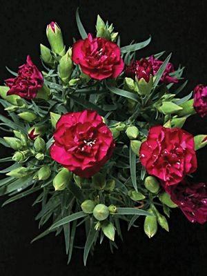 Гвоздика садовая Lillipot Purple (1 шт) - 1