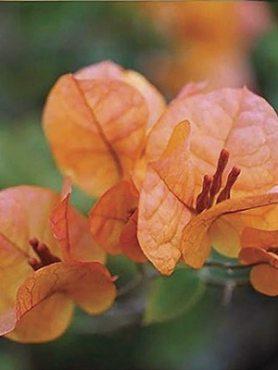 Бугенвиллея Vera Orange (1 шт) осень