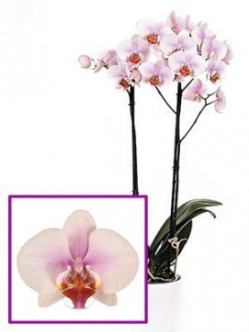 Фаленопсис гибридный Gracion (1 шт)