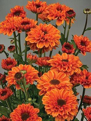 Хризантема срезочная Vyking Dark Orange (9 шт) - 1