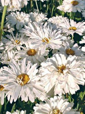 Нивяник наибольший Crazy Daisy, белый полумахровый (35 шт)