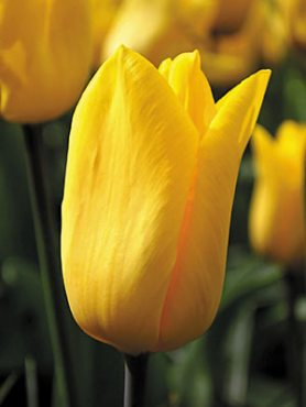 Тюльпани Тріумф Strong Gold 12+ (3 шт)