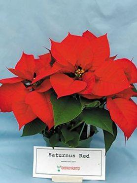 Пуансеттія прекрасна Saturnus Red (1 шт)