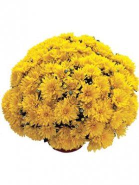 Хризантема дрібноквіткова низькоросла Precocita Gold (3 шт)