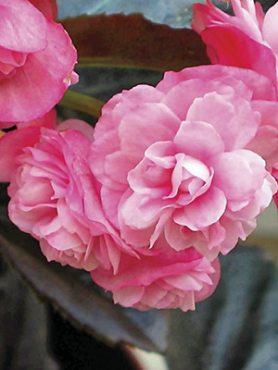 Бегония вечноцветущая Champion Double Rose (3 шт)