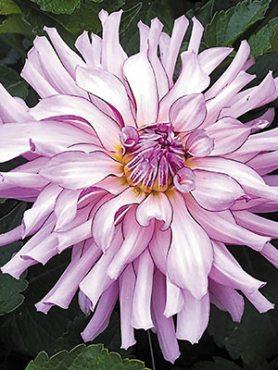 Георгина кактусовая Leila Savanna Rose (1 шт)
