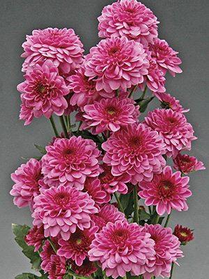 Хризантема срезочная Sanya (3 шт) - 1