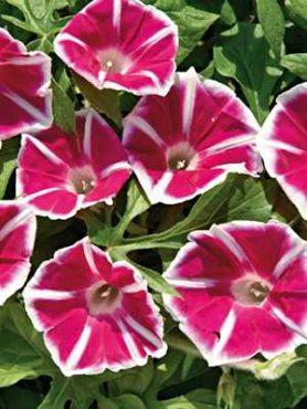 Іпомея ніл Rosita, червона з білим (5 шт)