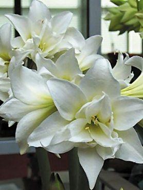 Гиппеаструм гибридный Jewel 24/26 (1 шт)