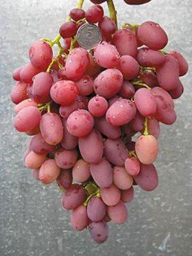 Виноград Водограй (1 шт)