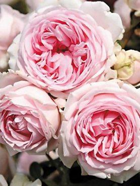Роза шраб Wellenspiel (1 шт)