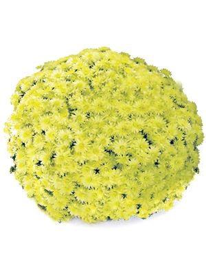 Хризантема мелкоцветковая низкорослая Rondella Sprinter Geel (3 шт) - 1