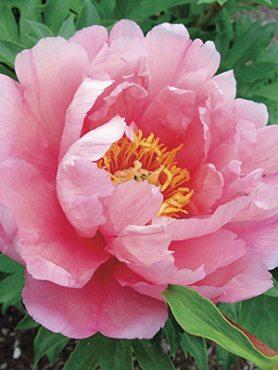 Півонія ІТО-гібрид Pink Double Dandy (1 шт)