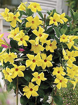 Дипладения Bloom Bells Yellow , 1 шт - 1