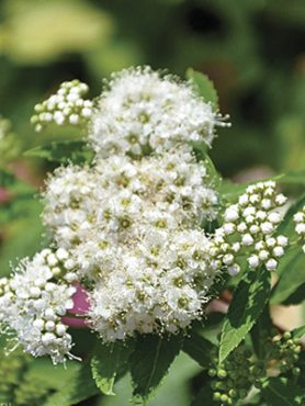 Спирея японская Albiflora (1 шт)