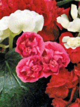 Бегонія вечноцветущая Queen F1, рожева махрова (5 шт)