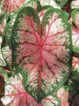 Каладиум двухцветный Cherry Blossom (1 шт)