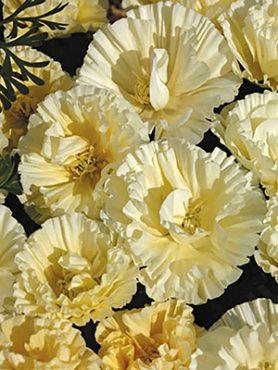 Каліфорнійський мак садовий, кремовий махровий (0,1 г)