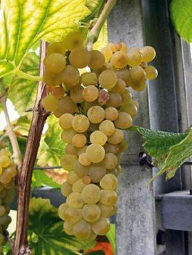 Виноград Солярис (1 шт)