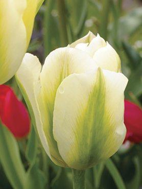 Тюльпани Зеленоквіткові Spring Green 1112 (3 шт)