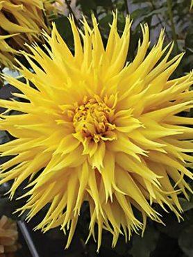 Георгина кактусовая бахромчатая Encore (1 шт)