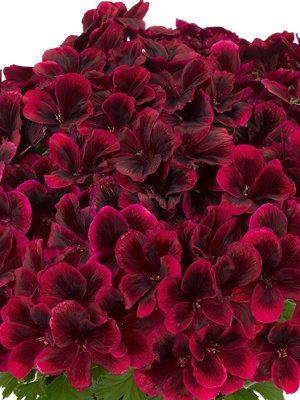 Пеларгония королевская Graziosa Merlot Red (1 шт) - 1