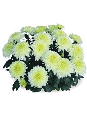 Хризантема кімнатні Interpid (3 шт) - 1