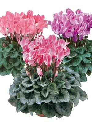 Цикламены, смесь крупноцветковых сортов (3 шт) - 1