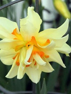 Нарциссы Махровые Flower Drift 1012 (3 шт)