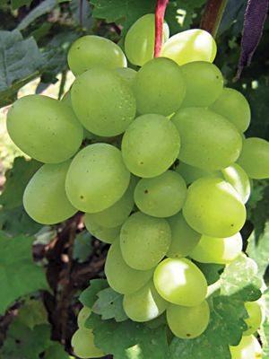 Виноград Супер-екстра (1 шт) - 1