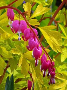 Серденька прекрасні (дицентра) Yellow Leaf (1 шт)