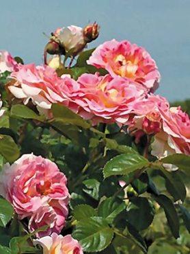 Роза в'юнка Cezar (1 шт)