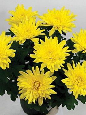 Хризантема срезочная Smola Yellow Imp. (3 шт)