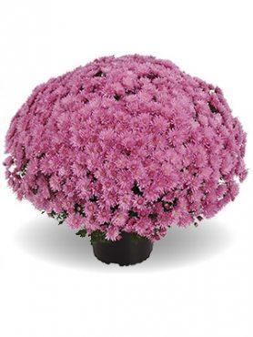 Хризантема мелкоцветковая низкорослая Tribeca Pink (9 шт)