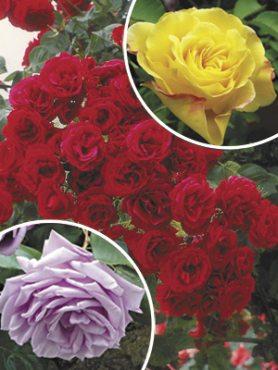 "Набор плетистых роз ""Душа сада""(3 шт)"