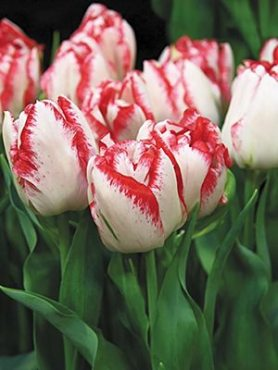 Тюльпаны Махровые поздние Cartouche 11/12 (3 шт)