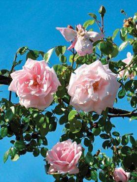 Роза в'юнка New Dawn (1 шт)