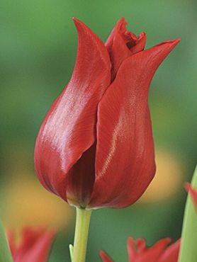 Тюльпаны Лилиецветные Pretty Woman 12+ (500 шт)