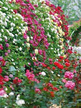Роза плетистая, смесь (3 шт)