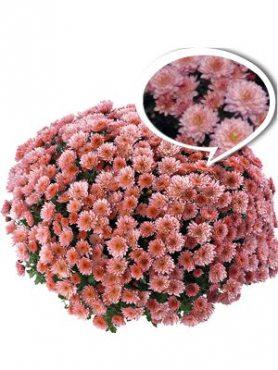 Хризантема мелкоцветковая низкорослая Moviestars Stallone Pink (3 шт)