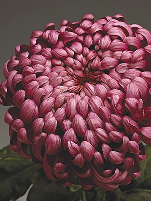 Хризантема срезочная Daily Mirror (3 шт) - 1