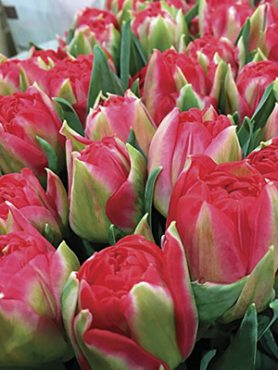Тюльпаны Махровые ранние Pamplona 1112 (3 шт)