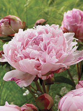 Пион молочноцветковый Sarah Bernhardt Unique (1 шт)