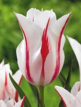 Тюльпаны Лилиецветные Marilyn 1011 (100 шт)