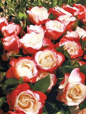 Роза чайно-гибридная Nostalgie(1 шт)