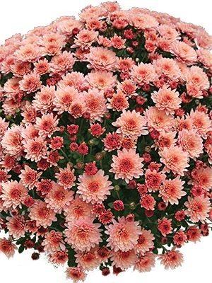 Хризантема мелкоцветковая низкорослая Branfountain Salmon (9 шт) - 1