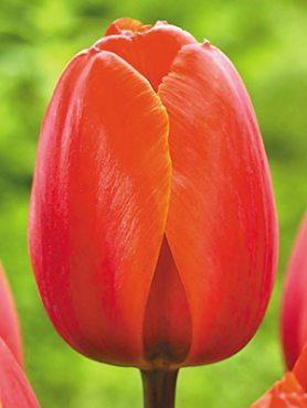 Тюльпани Дарвиновы гібриді. Ad Rem 1112 (3 шт)