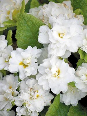 Примула обыкновенная Petticoat White F1 (3 шт) - 1