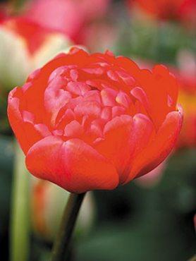 Тюльпаны Махровые поздние Miranda 1011 (3 шт)
