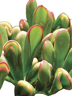 Толстянка овальная Horntree Tricolor , 1 шт - 1